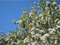 Beltane blossom