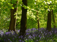 Bluebells in the beech woods