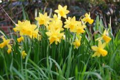 Spring Equinox daffodils