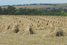 Stooks in a field of corn